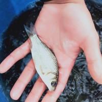 大量成品鱼苗 鲤鱼草鱼苗 包存活  鱼苗种类丰富
