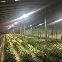 榴莲满肉生长辅助 大棚植物补光灯 接近太阳光的植物补光灯