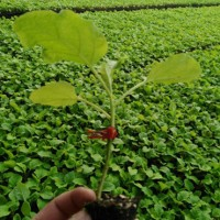株洲茄子苗 早春长茄子苗出售